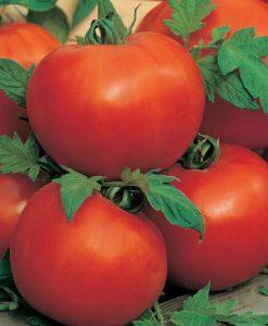 Ailsa Craig - tomat