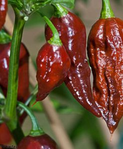 Bhut Jolokia Chocolate - chili