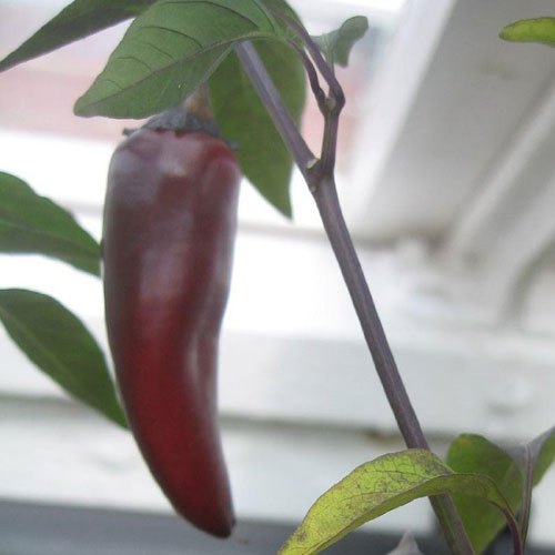 Black Hungarian - chili