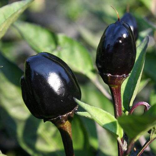 Black Olive Eko - chili