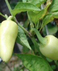 Caloro - chili