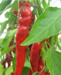 Cayenne Long Slim - chili