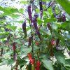 Cayenne Purple - chili