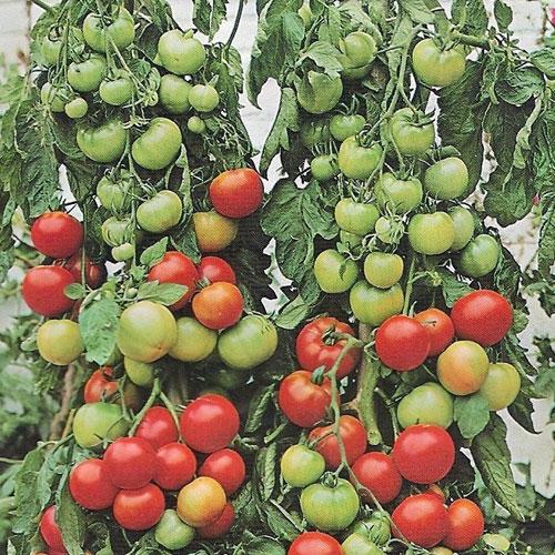 Gartenperle - ampeltomat