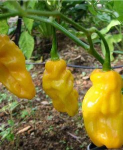 Habanero Yellow - chili