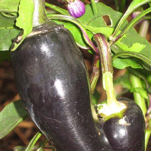 Jalapeno Purple - chili