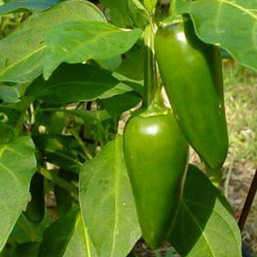 Jalapeno Tam - chili