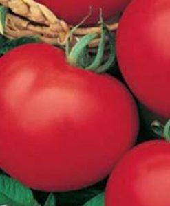 Moneymaker Eko - tomat