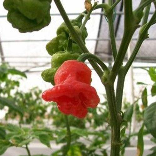 Mushroom Red - chili