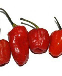 Phiringi Jolokia - chili
