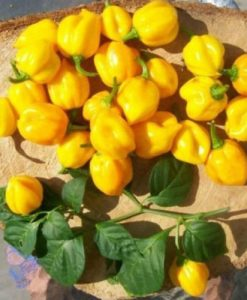 Scotch Bonnet Yellow - chili