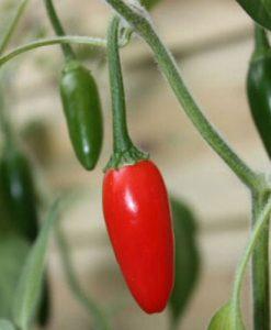 Serrano Tampiqueno - chili