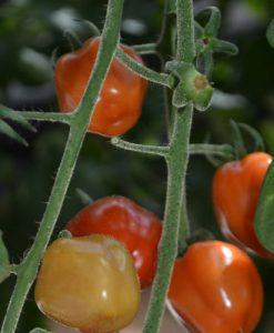Tomatoberry F1