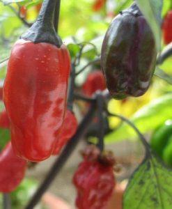 Variegata - chili