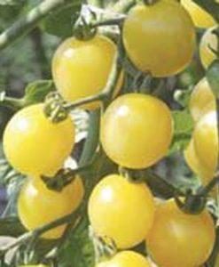 White Cherry Eko - körsbärstomat