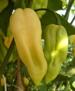 Bhut Jolokia White - chili