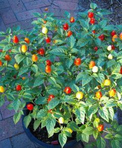 Firecracker - chili