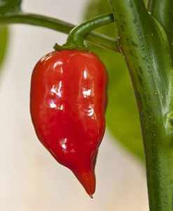 Habanero Maya Red - chili