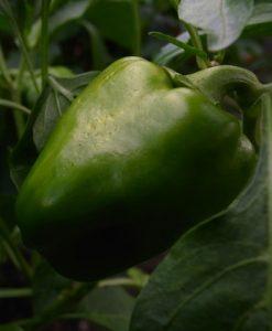 Keystone Resistant Giant 3 - paprika