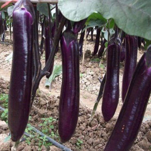 Long Purple - aubergine