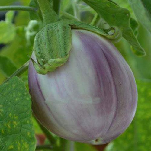 Rotonda Bianca Sfumata di Rosa - aubergine