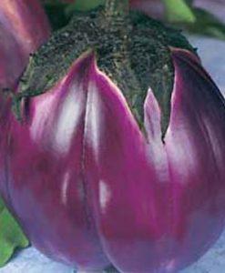 Violetta di Firenze - aubergine