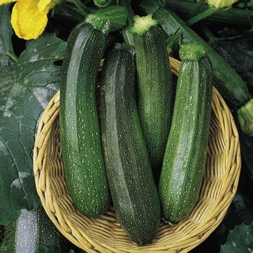 Green Bush - sommarsquash