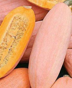 Jumbo Pink Banana - vintersquash