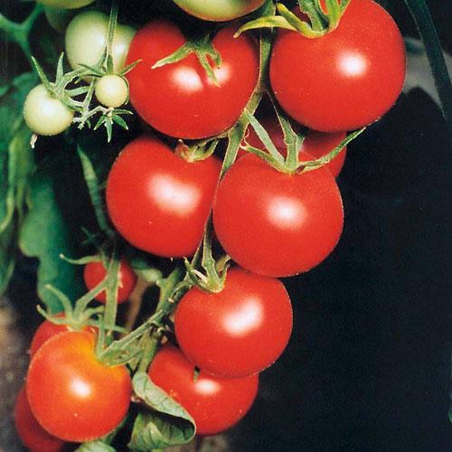 Tamina - tomat